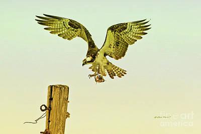 Osprey Pole Landing Print by Deborah Benoit