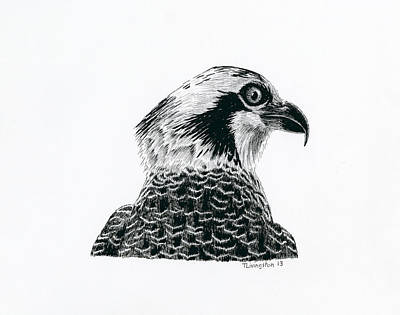 Osprey Drawing - Osprey Portrait by Timothy Livingston