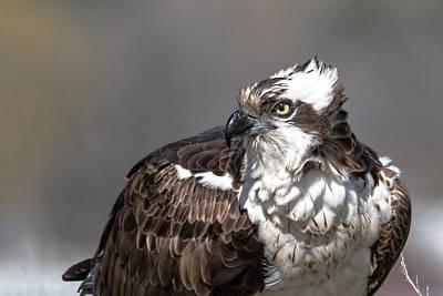Photograph - Osprey Portraite by Bruce J Barker