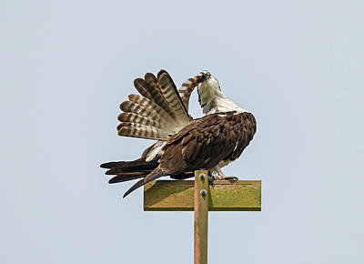 Photograph - Osprey Preening by Loree Johnson