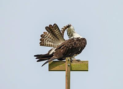 Oregon Photograph - Osprey Preening by Loree Johnson