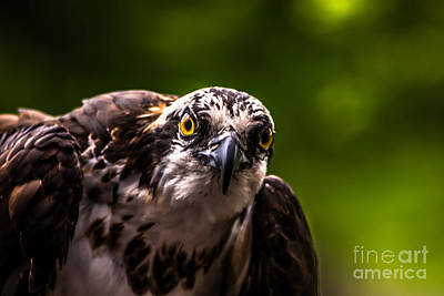 Photograph - Osprey Profile 2 by Blake Webster