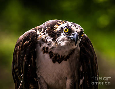 Photograph - Osprey Profile by Blake Webster