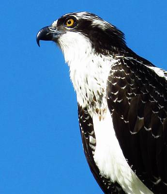 Photograph - Osprey Profile by Lori Frisch