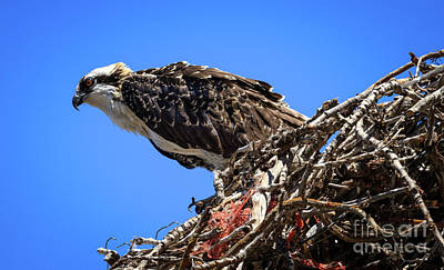 Photograph - Osprey Profile by Robert Bales