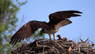 Photograph - Osprey Protecting Her Babies by Paulette Thomas