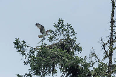 Photograph - Osprey Reinforcing Its Nest 2017 by Belinda Greb