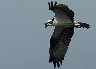 Photograph - Osprey by Ron Read