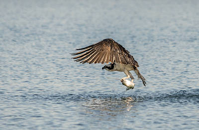 Photograph - Osprey Score by Loree Johnson