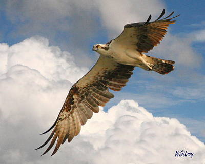 Sebastian Florida Photograph - Osprey / Sea Hawk by W Gilroy