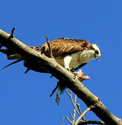 Photograph - Osprey by Sean Allen
