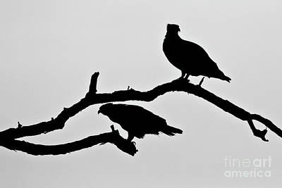 Photograph - Osprey Silhouettes  by Butch Lombardi
