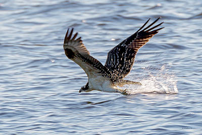 Photograph - Osprey Skimming by Brian Wallace