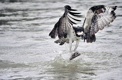 Photograph - Osprey Snatching Fish Out Of The Water by Dan Friend