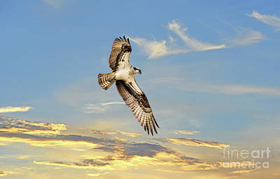 Photograph - Osprey Soaring Above A Sunset by Patrick Wolf