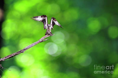 Photograph - Osprey  Speading His Wings by Dan Friend