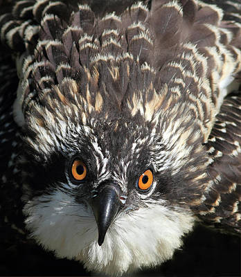 Photograph - Osprey Stare  by Art Cole