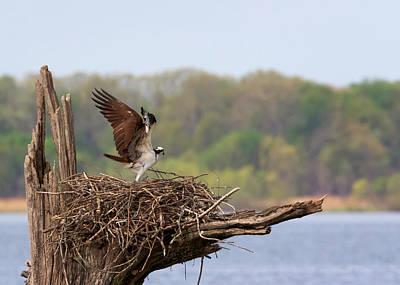 Photograph - Osprey Stretch by Susan Rissi Tregoning