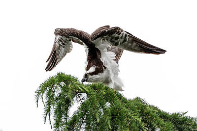 Photograph - Osprey Stretch by Wes and Dotty Weber