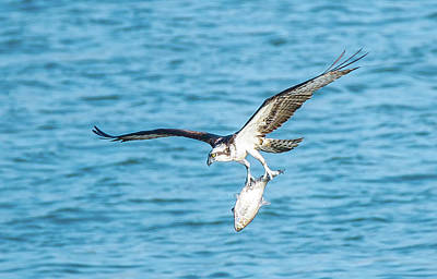 Photograph - Osprey Success by Jeff at JSJ Photography