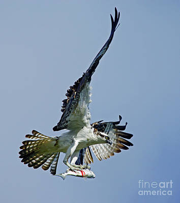 Photograph - Osprey Success by Larry Nieland