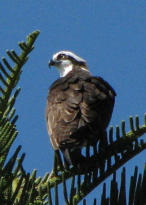 Photograph - Osprey by T Guy Spencer
