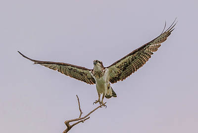 Photograph - Osprey Take Off by Marc Crumpler