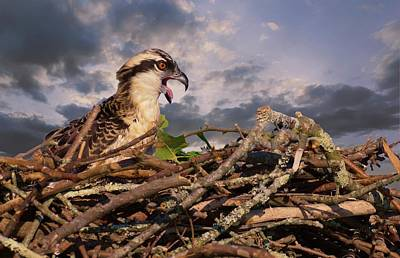 Photograph - Osprey Talk by Buddy Scott