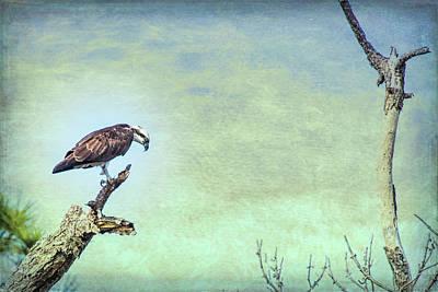 Photograph - Osprey Tree by Richard Goldman