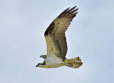 Photograph - Osprey Upswing by William Tasker