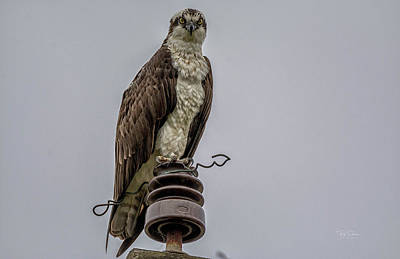 Photograph - Osprey Watch by Bill Posner