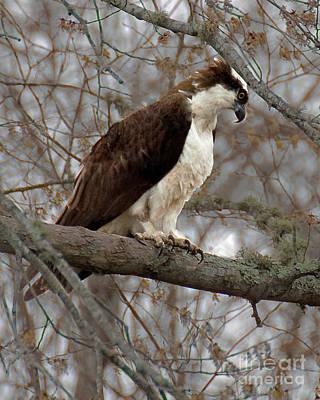 Photograph - Osprey by Wayne Valler