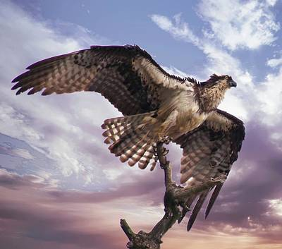 Photograph - Osprey Wing by Buddy Scott