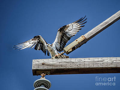 Photograph - Osprey Wings by Dale Powell