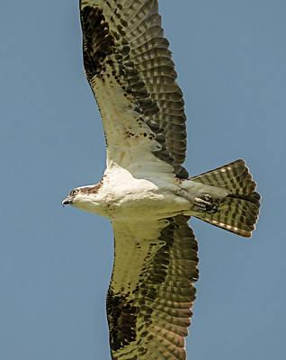 Eagle Photograph - Osprey Wingspan by Loree Johnson