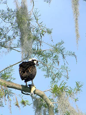Photograph - Osprey With A Fish by Chris Mercer