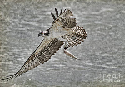 Osprey With Breakfast Art Print by Deborah Benoit