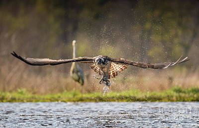 Photograph - Osprey With Catch by Keith Thorburn LRPS