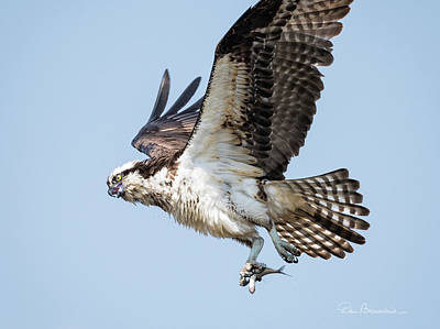 Dan Beauvais Royalty-Free and Rights-Managed Images - Osprey with Fish 8847 by Dan Beauvais