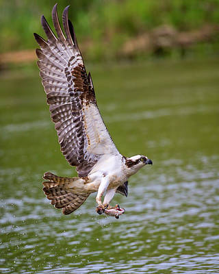 Photograph - Osprey With Fish by Alan Raasch