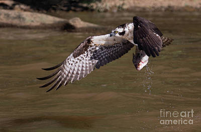 Photograph - Osprey With Fish by Art Cole