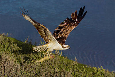 Beach Royalty-Free and Rights-Managed Images - Osprey With Fish by Brian Knott Photography