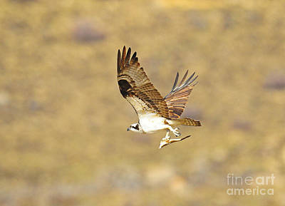 Osprey With Fish Art Print by Dennis Hammer