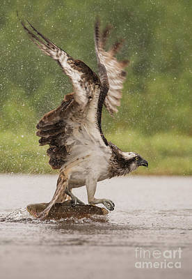 Photograph - Osprey With Fish by Keith Thorburn LRPS