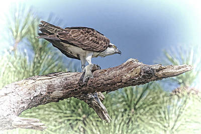Photograph - Osprey With Fish - Time For Dinner by HH Photography of Florida