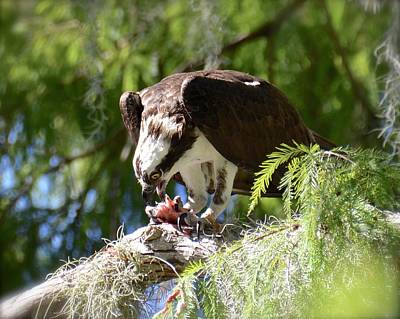 Photograph - Osprey With Fresh Catch by Carol Bradley