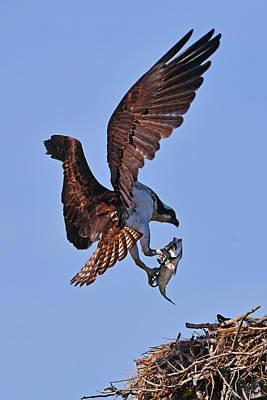 Photograph - Osprey With Fresh Catch by Ken Stampfer