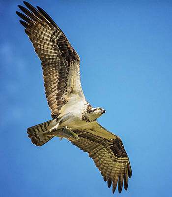 Photograph - Osprey With It's Breakfast by Cora Ahearn