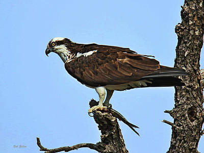 Photograph - Osprey With Lunch by Bob Zeller