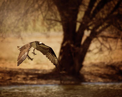 Photograph - Osprey With Lunch by Erica Kinsella